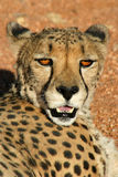 гепард ослабляя стоковое фото