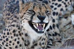 гепард рычая Стоковые Изображения