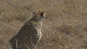 Гепард сидит в запасе игры mara masai, Кении сток-видео