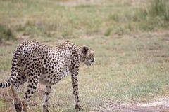 гепард следует за стоковое изображение rf