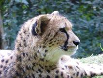Гепард смотря вне на мире стоковая фотография