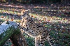 Гепард точить когти стоковая фотография