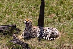 Гепард хочет спать Кения, Африка стоковые фотографии rf