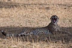 гепард стоковые фото