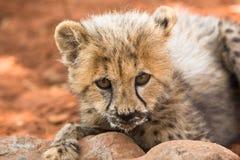 гепард стоковое фото