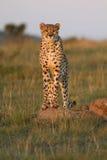 гепард стоковые фотографии rf