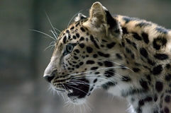 гепард стоковая фотография rf