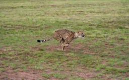 гепард 3 Стоковые Фото