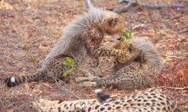 гепард acinonyx cubs jubatus Стоковые Фотографии RF