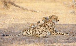 гепард acinonyx cubs jubatus Стоковое Фото