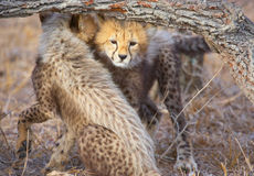 гепард acinonyx cubs jubatus Стоковое Изображение