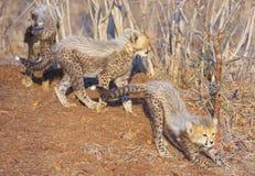 гепард acinonyx cubs jubatus Стоковое Изображение RF
