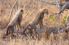 гепард acinonyx cubs jubatus Стоковая Фотография