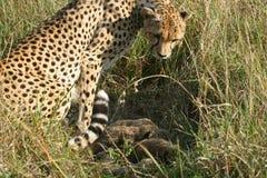 гепард cubs мать Стоковые Фото