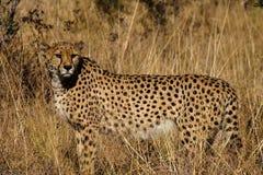 Гепард, jubatus Acinonyx на приводе игры в Намибии Африке стоковая фотография rf