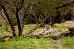 гепард napping стоковые изображения rf