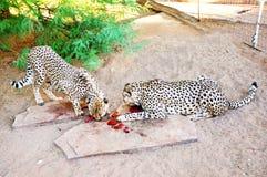 2 гепарда внутри в плене, подавая Стоковое Изображение RF
