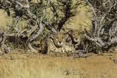 2 гепарда в национальном парке Etosha, Намибии Стоковые Изображения