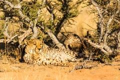 2 гепарда в национальном парке Etosha, Намибии Стоковые Фотографии RF