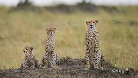 3 гепарда в саванне Кения Танзания вышесказанного Национальный парк serengeti Maasai Mara Стоковые Изображения