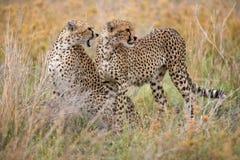 2 гепарда в саванне Кения Танзания вышесказанного Национальный парк serengeti Maasai Mara Стоковое Изображение RF