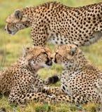3 гепарда в саванне Кения Танзания вышесказанного Национальный парк serengeti Maasai Mara Стоковая Фотография