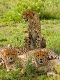 3 гепарда в саванне Кения Танзания вышесказанного Национальный парк serengeti Maasai Mara Стоковое Изображение