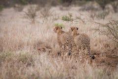 2 гепарда играя главные роли в расстоянии Стоковая Фотография RF