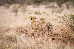 2 гепарда идя прочь в национальный парк Kruger Стоковые Изображения RF
