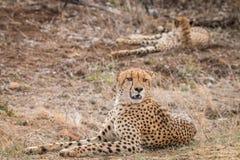 2 гепарда кладя в траву Стоковые Фото