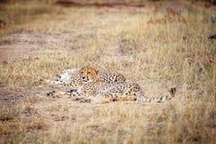 2 гепарда кладя в траву Стоковые Изображения