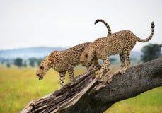 2 гепарда на дереве Кения Танзания вышесказанного Национальный парк serengeti Maasai Mara стоковые фотографии rf