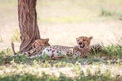 2 гепарда отдыхая под деревом Стоковое Фото