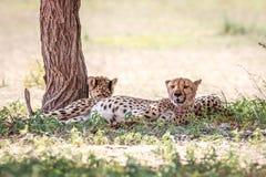 2 гепарда отдыхая под деревом Стоковая Фотография