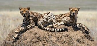2 гепарда (jubatus Acinonyx) на насыпи термита Стоковая Фотография RF