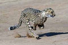 Гепард бежать на полном газу Стоковая Фотография