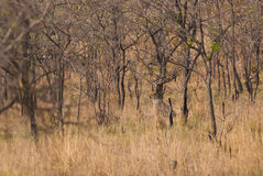 Гепард в лесе саванны Стоковое Фото