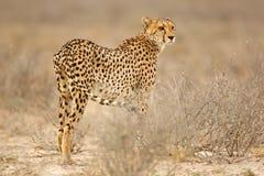 Гепард в естественной среде обитания Стоковое Изображение RF