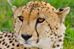 Гепард в Кении Стоковая Фотография