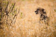 Гепард в кусте Стоковое Фото