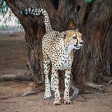 Гепард в пустыне Kalahari, Намибии Стоковое Фото