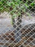 Гепард в плене Стоковая Фотография