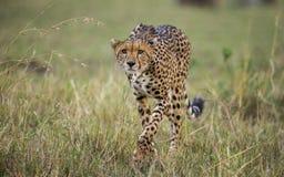 Гепард в саванне Конец-вверх Кения Танзания вышесказанного Национальный парк serengeti Maasai Mara стоковые фото