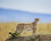 Гепард в саванне Конец-вверх Кения Танзания вышесказанного Национальный парк serengeti Maasai Mara стоковые изображения