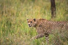 Гепард в саванне Конец-вверх Кения Танзания вышесказанного Национальный парк serengeti Maasai Mara стоковое изображение