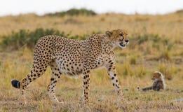 Гепард в саванне Конец-вверх Кения Танзания вышесказанного Национальный парк serengeti Maasai Mara стоковое фото