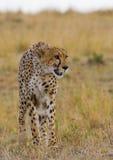 Гепард в саванне Конец-вверх Кения Танзания вышесказанного Национальный парк serengeti Maasai Mara стоковое фото rf