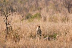 Гепард в саванне Стоковая Фотография RF