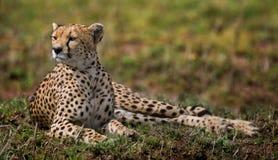 Гепард лежа в саванне Кения Танзания вышесказанного Национальный парк serengeti Maasai Mara Стоковые Фотографии RF