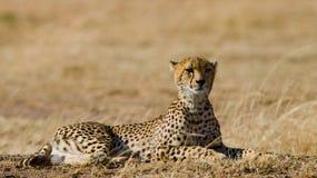 Гепард лежа в саванне Кения Танзания вышесказанного Национальный парк serengeti Maasai Mara Стоковые Изображения